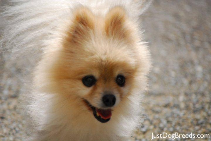 Samson Dog Breed