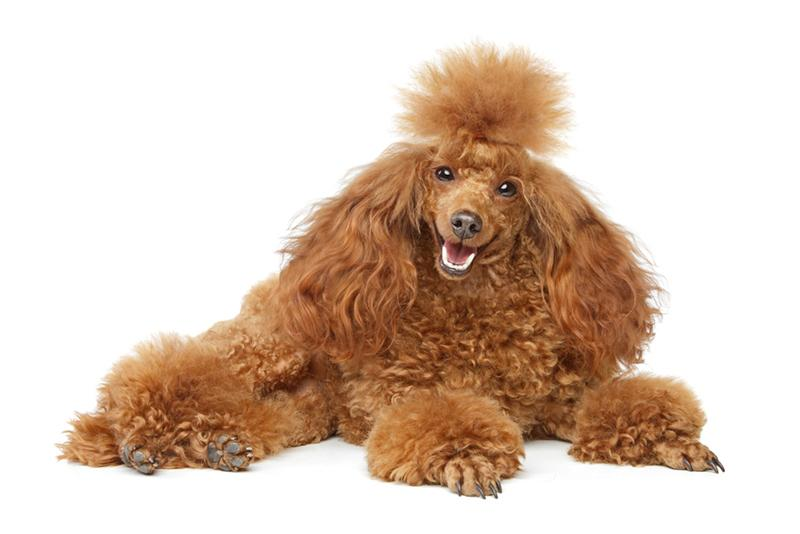 How to Train a Toy Poodle