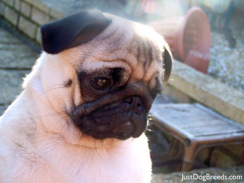 milo marrinavale sugardaddy - Pug - Dog Breeds