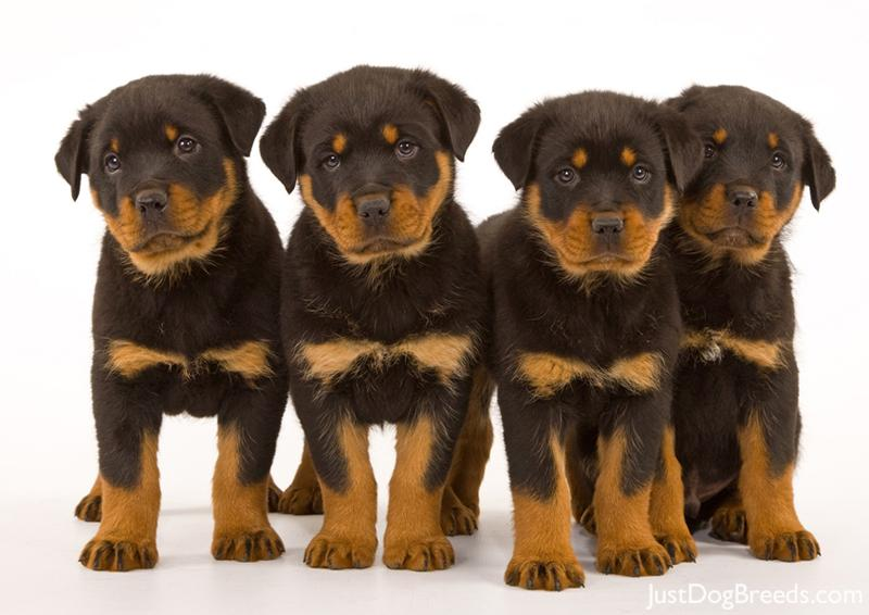 The gallery for --> Dog Breeds A Z