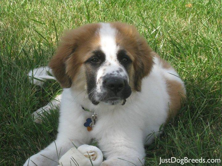 Great Pyrenees St Bernard Mix Puppies Pics | Dog Breeds Picture
