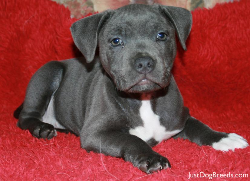 Pics Photos - Terrier Dog Breeds Staffordshire Bull Terrier Dog