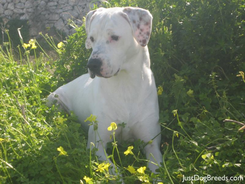Dog Breeds White With Brown Spots