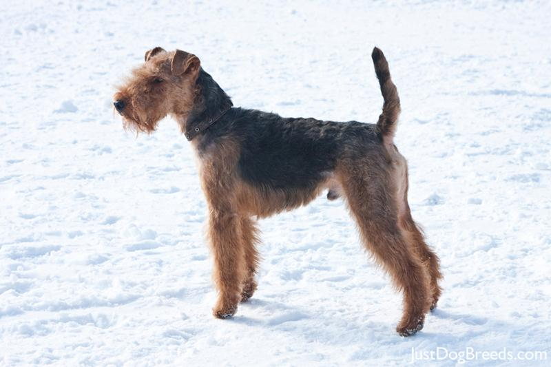 Welsh Terrier Breed | Dog Breeds Picture