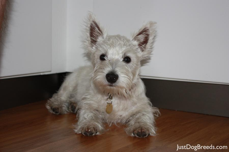 West Highland White Terrier Breed Info Pictures | New ...