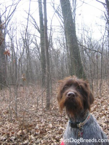 Breed: Wirehaired Pointing Griffon