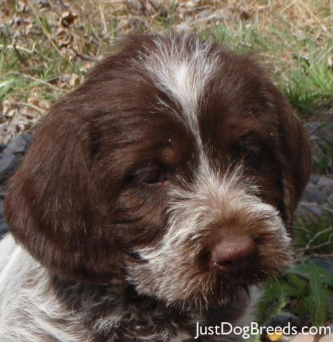 Maggie - Wirehaired Pointing Griffon - Dog Breeds