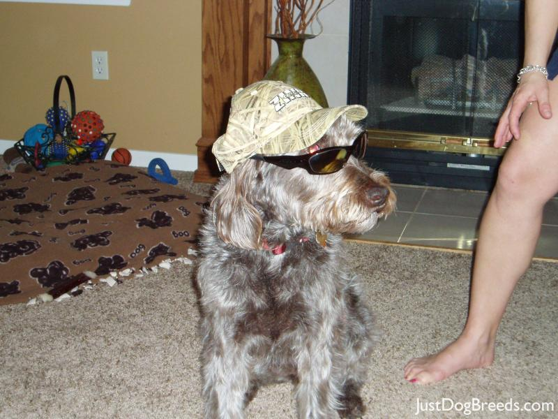 Anna - Wirehaired Pointing Griffon - Dog Breeds