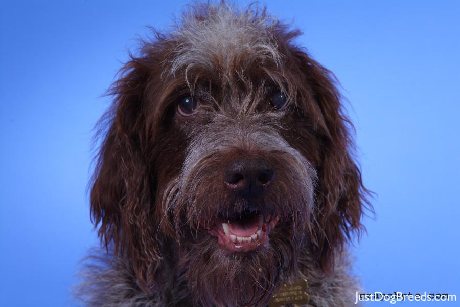 Wirehaired Pointing Griffon Dog