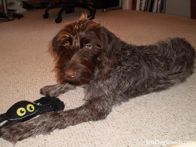 Diasi Red Ryder - Wirehaired Pointing Griffon - Dog Breeds