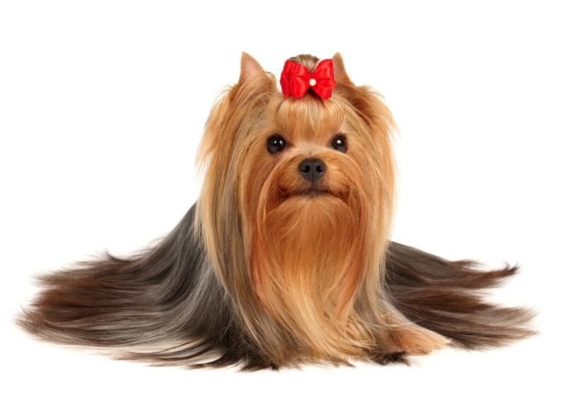 Yorkshire terrier8 yorkshire terrier dog breeds - Best dogs for small spaces pict ...